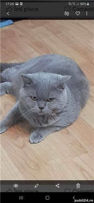 Pisica   British Shorthair blu de vanzare de 8-10 saptamani - imagine 5