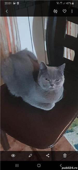 Pisica   British Shorthair blu de vanzare de 8-10 saptamani - imagine 4