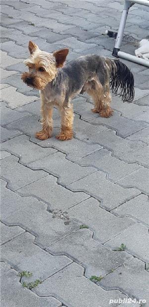 montă yorkshire terrier  - imagine 1
