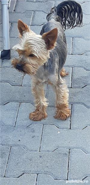 montă yorkshire terrier  - imagine 4