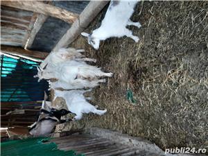 2 Capre și 2 țapi  anglo-nubieni  - imagine 2