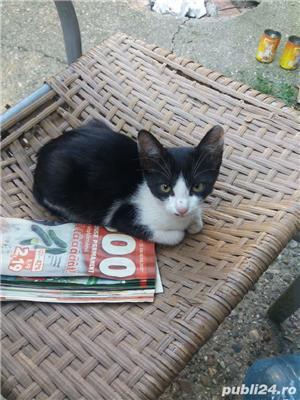 Pui de pisica pentru adoptie gratuita jud. Arad - imagine 3