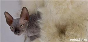 Vand 2 motani  Canadian Sphynx/ Sfinx, cu pedigree - imagine 3