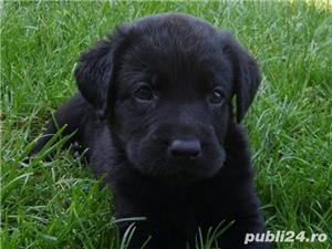 Vand pui labrador retriever retriver pe auriu si negru - imagine 4