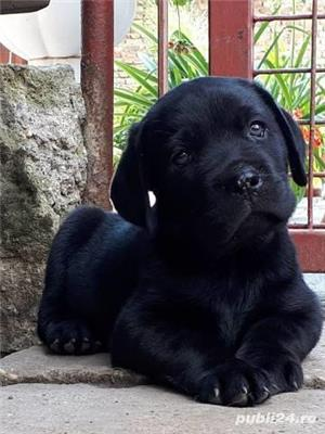 Vand pui labrador retriever retriver pe auriu si negru - imagine 2