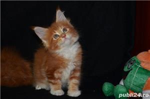 Vand pisici maine coon CU PEDIGREE  bucuresti iasi oradea cluj brasov - imagine 2