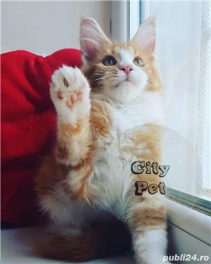 Vand pisici maine coon CU PEDIGREE  bucuresti iasi oradea cluj brasov - imagine 3