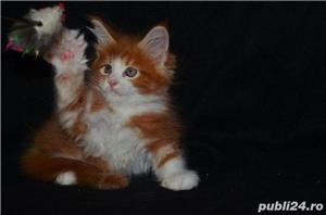 Vand pisici maine coon CU PEDIGREE  bucuresti iasi oradea cluj brasov - imagine 1