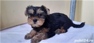 vand pui Yorkshire terrier toy - imagine 5