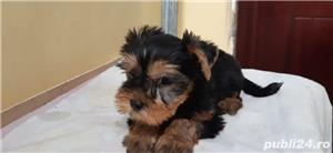 vand pui Yorkshire terrier toy - imagine 3