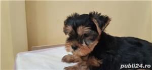 vand pui Yorkshire terrier toy - imagine 4