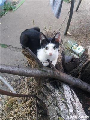 Pui de pisica pentru adoptie gratuita jud. Arad - imagine 2