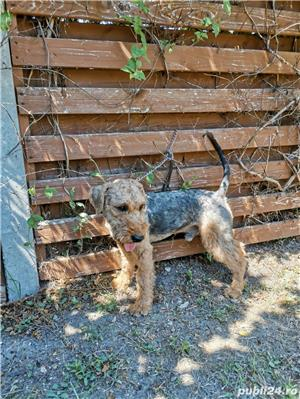 Vand mascul airedale terrier  - imagine 2