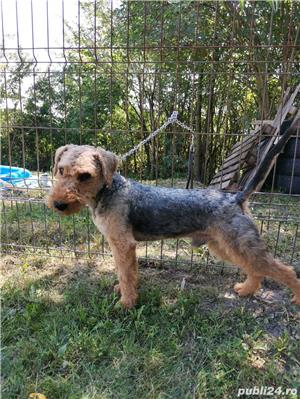 Vand mascul airedale terrier  - imagine 1