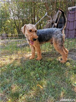 Vand mascul airedale terrier  - imagine 4