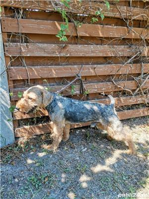 Vand mascul airedale terrier  - imagine 5