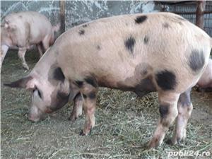 Porci de tăiere  - imagine 3