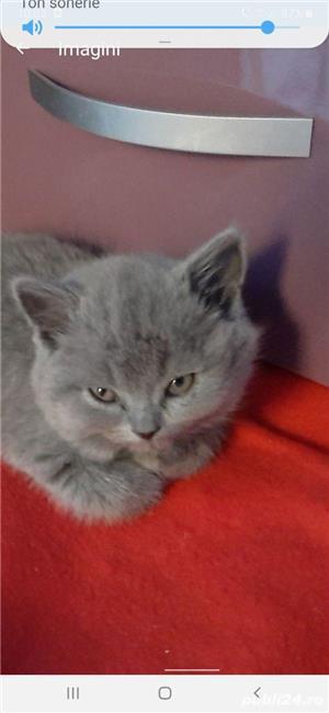 pisica british shorthair blu de 8-10 saptamani - imagine 4