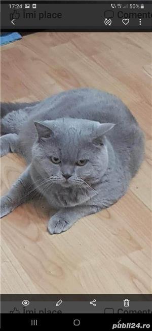 pisica british shorthair blu de 8-10 saptamani - imagine 5