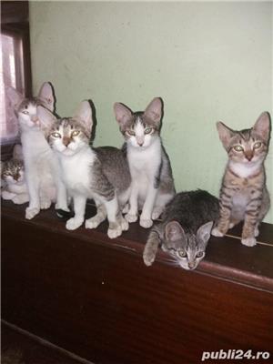 Pui de pisica pentru adoptie gratuita jud. Arad - imagine 1