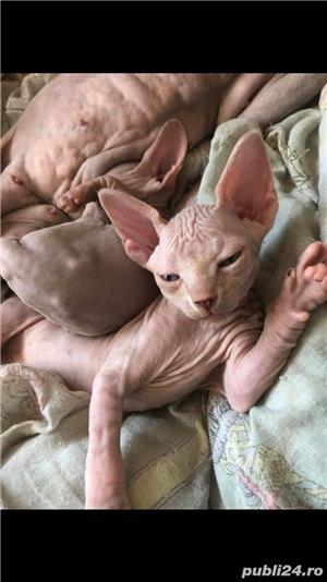 Pisica sphynx / sfinx - imagine 2