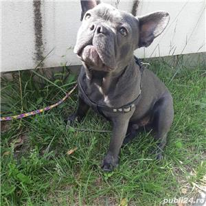 MONTA  Bulldog Francez  BLUE - imagine 2