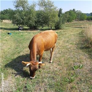 Vand vaca gestanta 7 luni - imagine 1