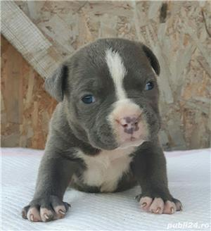 Pui American Bully cu Pedigree ABKC !!! - imagine 2