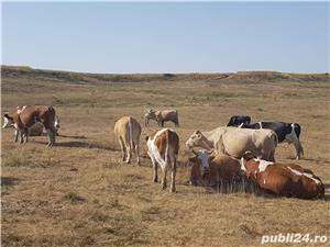 Vanda vaci -baltata romaneasca  - imagine 3