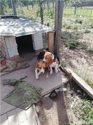 Catei beagle  - imagine 5