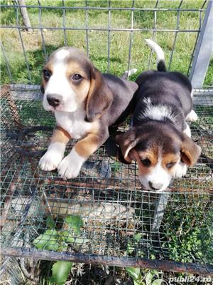 Catei beagle  - imagine 3