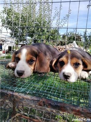 Catei beagle  - imagine 2