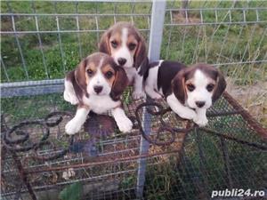 Catei beagle  - imagine 1