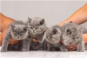 British Shorthair blue cu pedigree - imagine 1