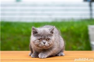 British Shorthair blue cu pedigree - imagine 5