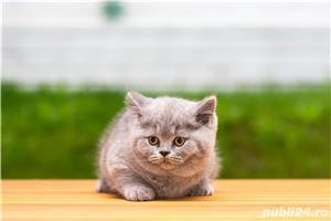 British Shorthair blue cu pedigree - imagine 2