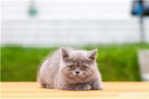 British Shorthair blue cu pedigree - imagine 4