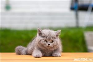 British Shorthair blue cu pedigree - imagine 3