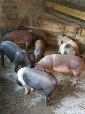 Porci, purcei - imagine 1