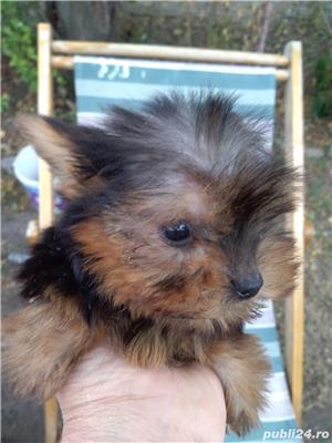 vand puii de yorkshire terrier toy rasa pura - imagine 1