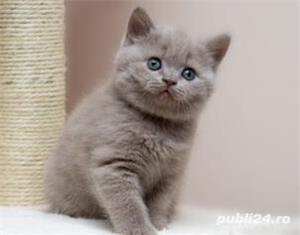 Fetiță British Shorthair Lilac disponibilă  - imagine 2