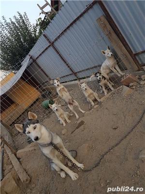 husky siberian - imagine 2