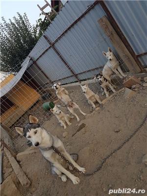 husky siberian - imagine 1
