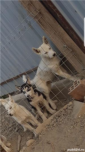husky siberian - imagine 3