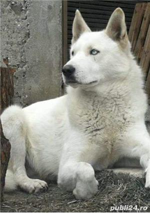Monta Husky Siberian alb  - imagine 1