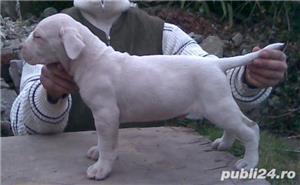 Vand catelusi Dog Argentinian - imagine 2
