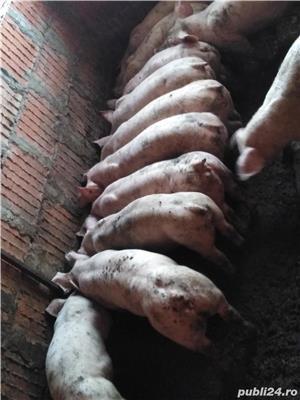Vând purcei de carne 30-35kg 500 lei  - imagine 2
