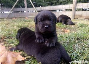 Pui labrador retriever retriver pe negru - imagine 3