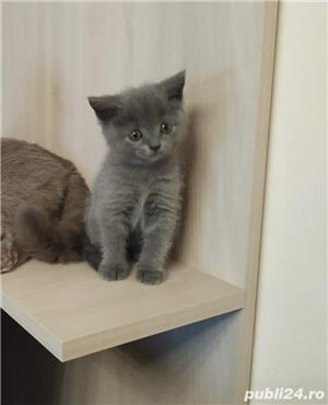 Pui British Shorthair - imagine 2