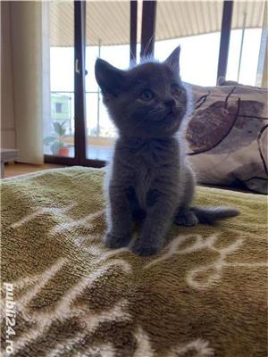 Pui British Shorthair - imagine 4